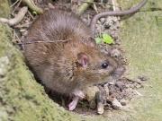Wasserbetriebe brechen Berlins Ratten das Genick