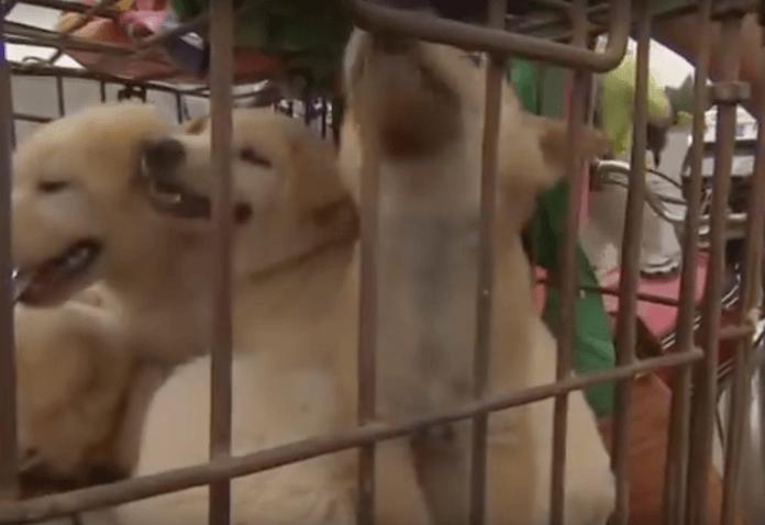 China Fleisch Festival 10000 Hunde Erschlagen Gehäutet Und
