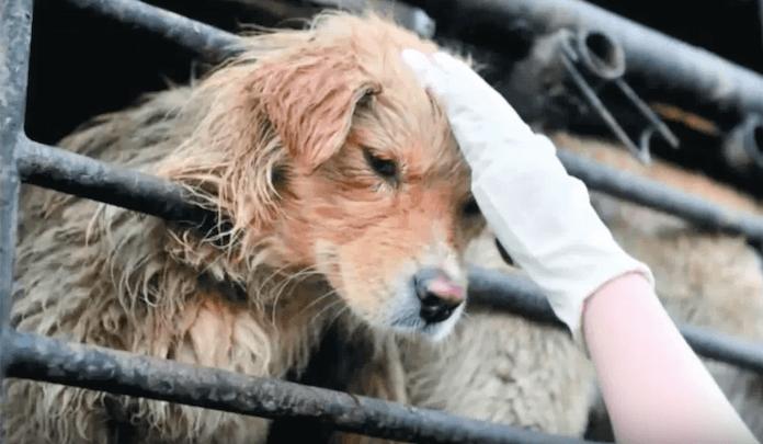 10.000 Hunde werden jedes Jahr zur Sommersonnenwende am 20. Juni 2016 für ein Hundefleisch-Festival gefangen, erschlagen, gehäutet und als Delikatesse mit Lychees, Likör und Bier serviert (Foto: Youtube)