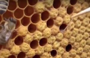 Die Amerikanische Faulbrut kann man mit einer Pinzette als fadenziehende Masse in den Waben erkennen (Foto: Youtube)