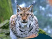 Der vor 200 Jahren so gut wie ausgerottete Luchs lebt wieder in deutschen Wäldern und jagt Rehe, von denen es noch nie so viele gab (Foto: Ole Anders, Leiter Luchsprojekt Harz)