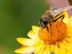 Führender Insektenschutz für Bienensterben verantwortlich (Foto: Markus Trienke)