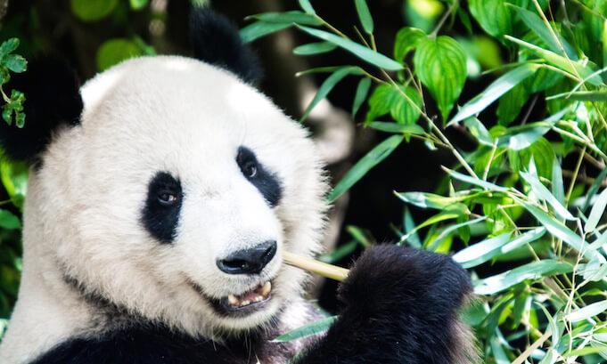 Der Große Panda ist nicht mehr vom Aussterben bedroht (Foto: Soren Wolf)