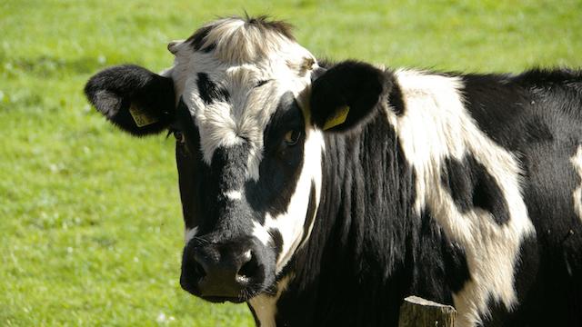 Türkei niederländische Rinder