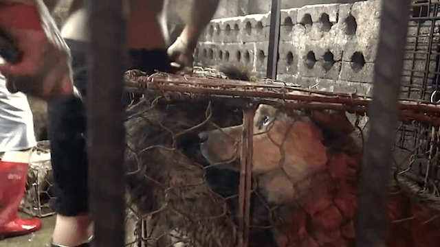 Auch in diesem Jahr müssen beim Hundefleisch-Festival in Yulin mehr als 10.000 Tiere leiden und sterben. (Screenshot: YouTube)